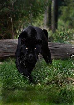 panther black nature