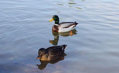 ducks lake oilpaintingeffect reflections mallard
