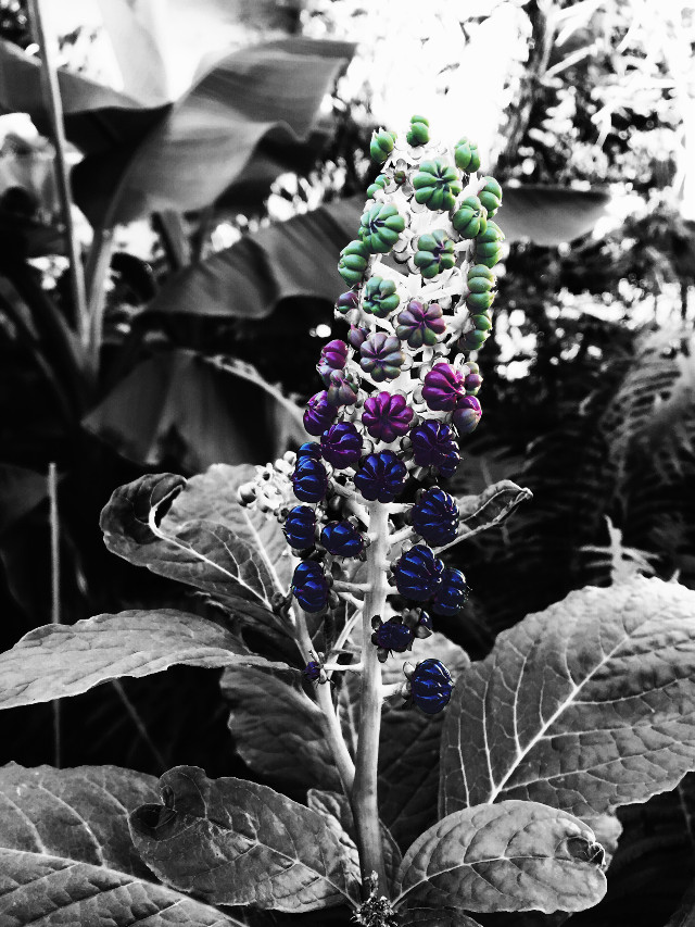 #kermelbeere #lila #grün #schwarzweiß #flower #beeren #nature #photography #colorful